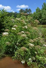 Elderberry plant in Mississippi