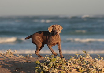 A weimaraner puppy dog with the sea in the background