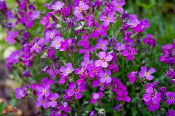 Flowerbed of Aubrietia.