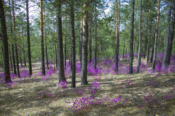 Beautiful bushes in pine forest, Eastern Siberia