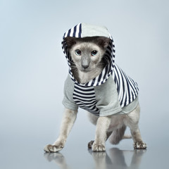Peterbald Cat in Hoody