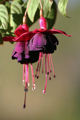 Fuchsia Flower macro