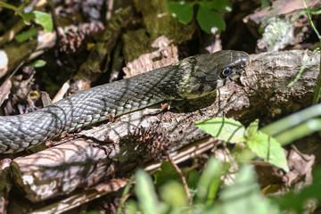 Grass Snake Basking in sunlight