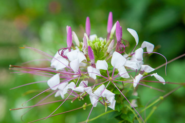 Pink Flowers With Whiskers in garden.