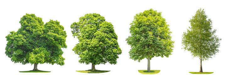 Obraz Set of green trees maple, birch, chestnut. Nature objects - fototapety do salonu