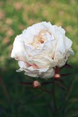Peony lactiflora flower