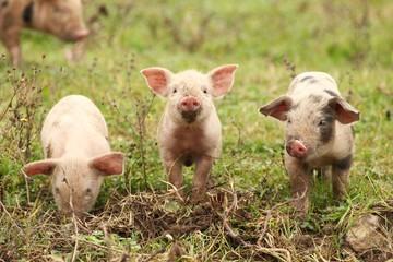 Three piglets  Wall mural