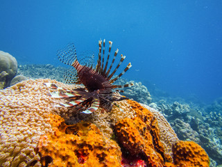 Lionfish at the bottom of the sea