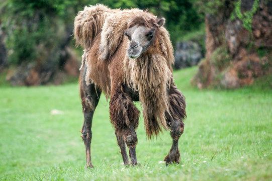 el camello molon