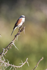 Red-backed Shrike perched on a branch in Kruger National Park