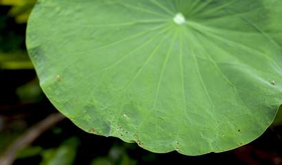 Green lotus leaf background
