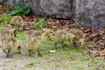 The funny company of young cackling geese