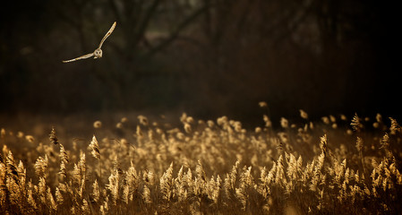 Wild barn owl Hunting over a field