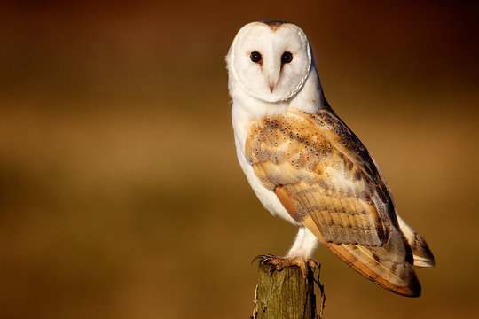 Wild barn owl sitting on an old post looking at the camera