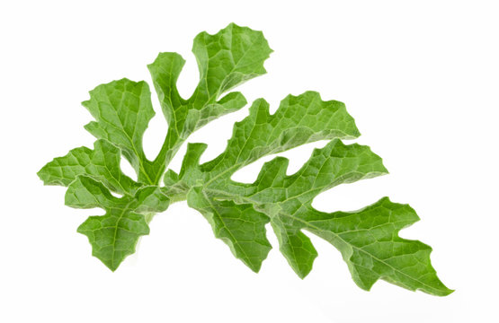 Watermelon leaf isolated on white background