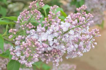 Syringa lilac flowers close up