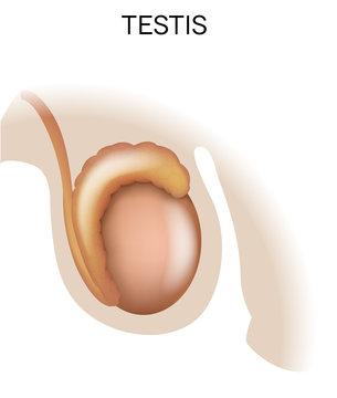 Testis, male organ