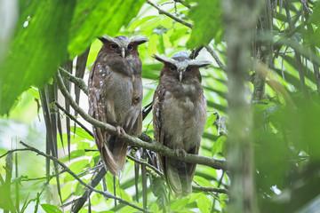 Ecuador, Amazonas River Region, two Crested owls on branch