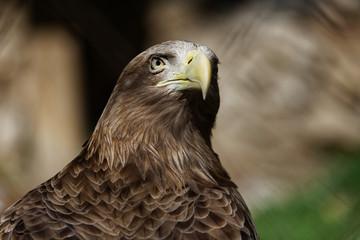 Portrait of a eagle