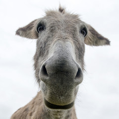 close up face of a donkey