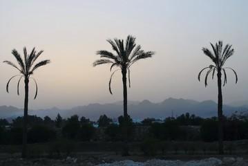 Palm, egypt