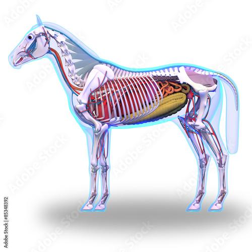 Horse Anatomy Internal Anatomy Of Horse Isolated On White Stock
