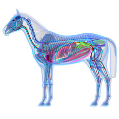 Horse Anatomy - Internal Anatomy of a Horse