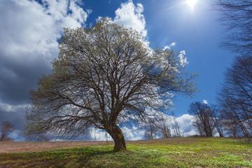 Single tree on blossoming meadow in idyllic hillside
