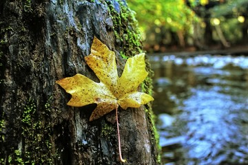 maple leaf lay on the tree with blurry river background