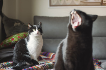 Cat watching another cat yawing