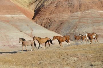 USA, Wyoming, Big Horn Mountains, six galloping wild horses