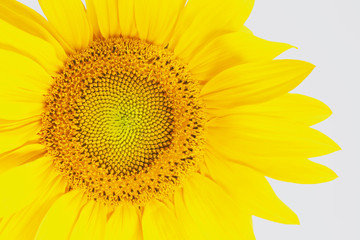 Sonnenblume, Blüte