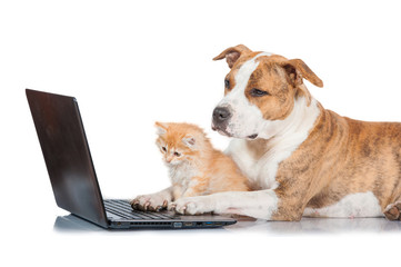 American staffordshire terrier dog with little red kitten in front of a laptop