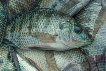 Tilapia - a fish that eat most of Thailand.