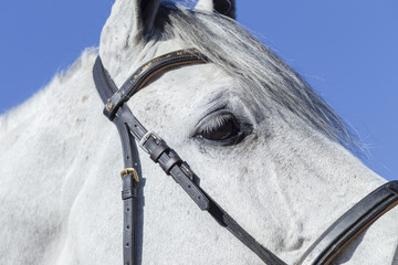Horse Portrait Head eye details