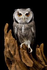 white faced scops owl on a piece of drift wood isolated on a black background