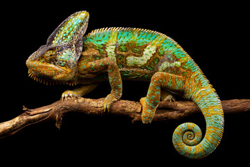 Side on picture of a yemen chameleon isolated on a black background
