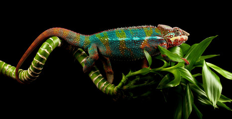 blue bar panther chameleon on a bamboo cane isolated black background