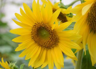 Close-up sun flower