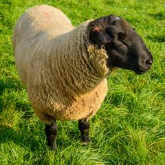 Schwarzkopf-Schaf