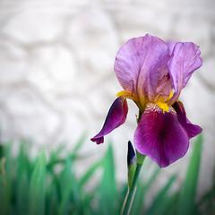 Iiris flowers
