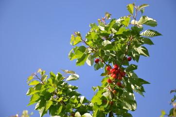 Cerises mûre dans cerisier Montmorency