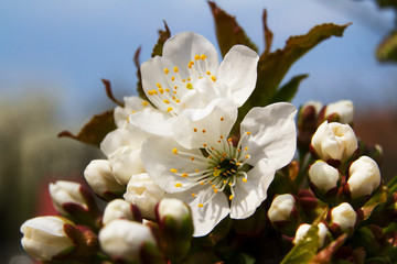 Flowering cherry in spring. Macro.