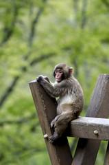 Scimmia seduta su palo di legno