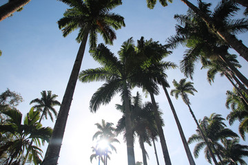 Palm Trees Botanic Garden Rio de Janeiro