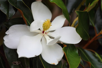 A close up view of a magnolia flower in full bloom.