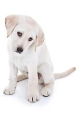 Yellow Labrador Retriever Puppy Isolated