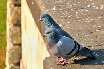 Two pigeons. Pigeons on old gothic wall, shallow depth of field.