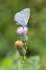 Faulbaum-Bläuling auf Acker-Kratzdistel / Holly blue on Ambrosia