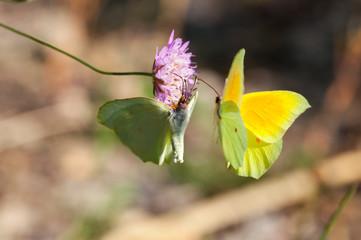 Farfalla Gonepteryx cleopatra
